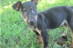 Picture of Alec(Rat-Pin) Male pup