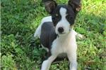 Staffordshire Bull Terrier for sale