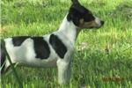Picture of Aleric~ACA Reg.Rat Terrier Male Pup