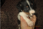 Picture of ACA Reg Female Rat Terrier Pup~Molly
