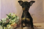 Picture of Abby(Rat~Pin) Female Pup