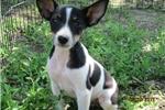 Picture of Teddy~ACA Reg.Rat Terrier Male Pup