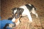 Picture of ACA Reg.Rat Terrier Male~Merle