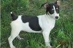 Picture of Henri~ACA Reg. Rat Terrier Male Pup