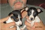 Picture of ACA~Reg. Rat Terrier Female pup