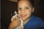 Picture of ACA~Reg.Rat Terrier Male Pup