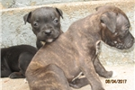 Picture of AKC~Reg. Female (A) Staffy Pup