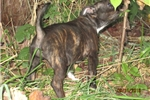 Picture of Helen~AKCFemale Staffy Pup
