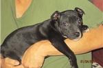 Picture of Winna~ AKC Reg.Staffy Female Pup