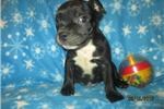 Picture of Garth~AKC Male Staffy Pup