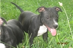 Picture of AKC Reg~Erwin Male Staffy Pup