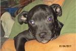 Picture of Waylon~AKC Staffy male pup