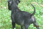 Picture of AKC~Cara Reg.Female pup