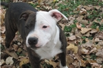 Picture of Hector~AKCMale Staffy Pup