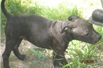 Picture of AKC Reg.~Cara~ Staffy Female Pup
