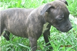 Picture of AKC~Reg. Alisa Female  Staffy Pup