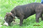 Picture of Lizzy~ Female Staffy (AKC) Pup
