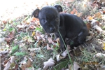 Picture of AKC Female Staffy female pup