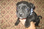 Picture of AKC Reg. Female Staffy Pup~Jewell