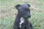 Picture of AKC Reg.~ Bara~ Staffy Female Pup