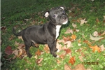 Picture of  Warrick~AKC Staffy Male Pup