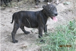 Picture of Greta~AKC Reg Female Staffy Pup
