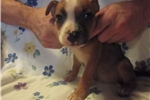 Picture of Goldie~AKC Female Staffy Pup