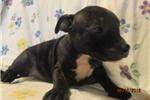 Picture of Greta~AKC Reg Female Staffy Pup