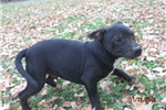 Picture of Ajax~AKC Male Staffy Pup