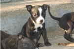 Picture of AKC Reg~Male Staffy Pup (F)