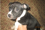 Picture of AKC Reg.Staffy Female Pup ~ Crystal