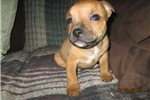 Picture of AKC Male Staffy Pup
