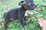 Picture of AKC Staffy Male Pup