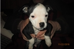 Picture of Wilson AKC male pup