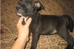 Picture of AKC Reg Female Staffy Pup~Hope