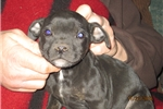 Picture of Willow~AKC Female Staffy female pup