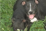 Picture of AKC Reg~Gunner Male Staffy Pup