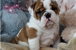 Picture of Beautiful English Bulldog Puppy Available