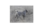 Picture of AKC Wirehaired Pointing Griffon