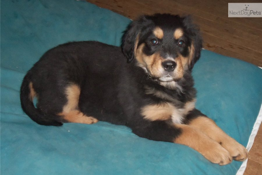 Bernese Mountain Dog Puppy For Sale Near Kirksville