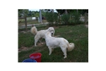 Picture of a Maremma Sheepdog Puppy