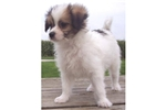 Picture of TUCKER - RESCUE PUPPY - ISN'T HE FLASHY!