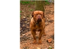 Picture of M&M Bordeaux Male yellow