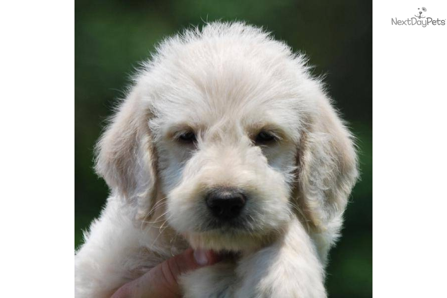All Non Shedding And Hypoallergenic Dog Breeds