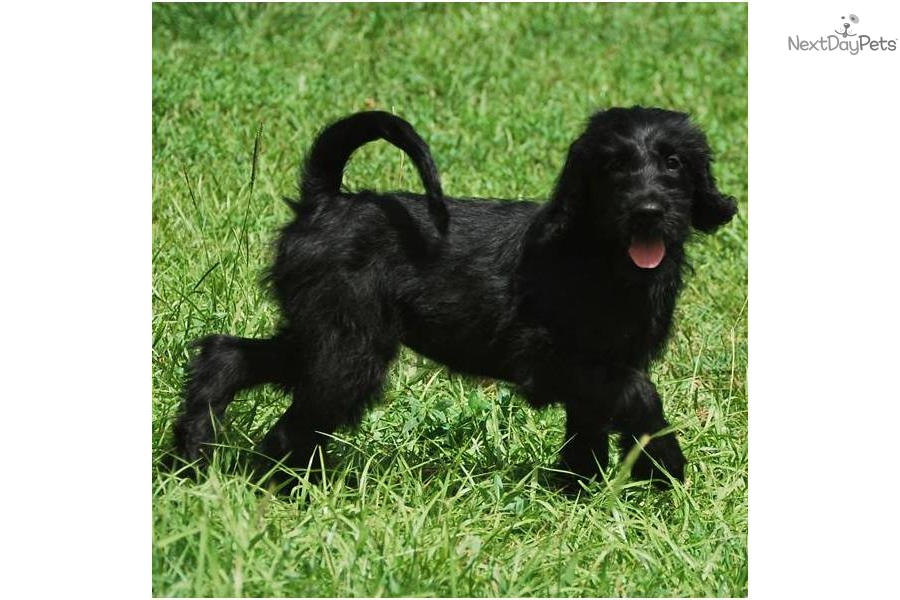 Meet Cotton Puff A Cute Labradoodle Puppy For Sale For