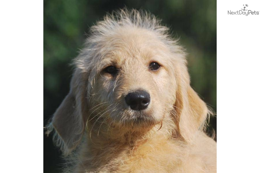 Medium-Sized Non-Shedding Dog Breeds