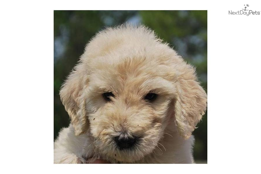 Cutest Hypoallergenic Dogs   Dog Breeds Picture