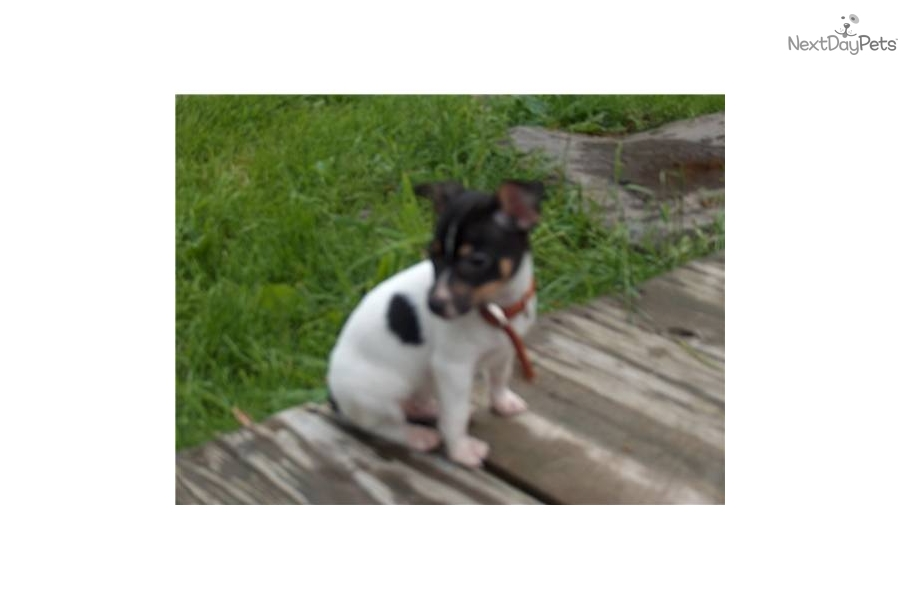 Pumpkin The Toy Rat Terrier Pictures to like or share on Facebook