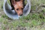 Picture of a Portuguese Podengo Puppy