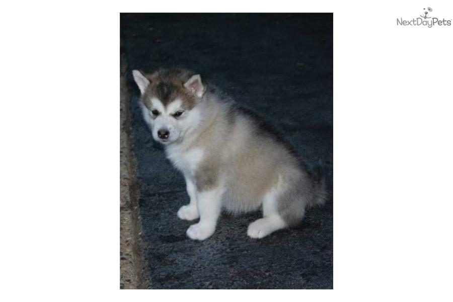 akc-alaskan-malamute-pup---female-1dog-alaskan-malamute-puppy-af8c9c03